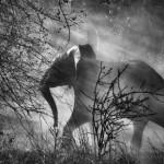 Sebastião Salgado, elephant