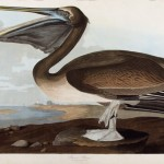 John James Audubon, Brown Pelican, plate 421 from The Birds of America.