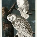 John James Audubon, Snowy Owl