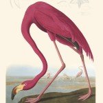 John James Audubon, Flamingo