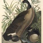 John James Audubon, Canada Goose