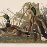 John James Audubon, Mallard Ducks
