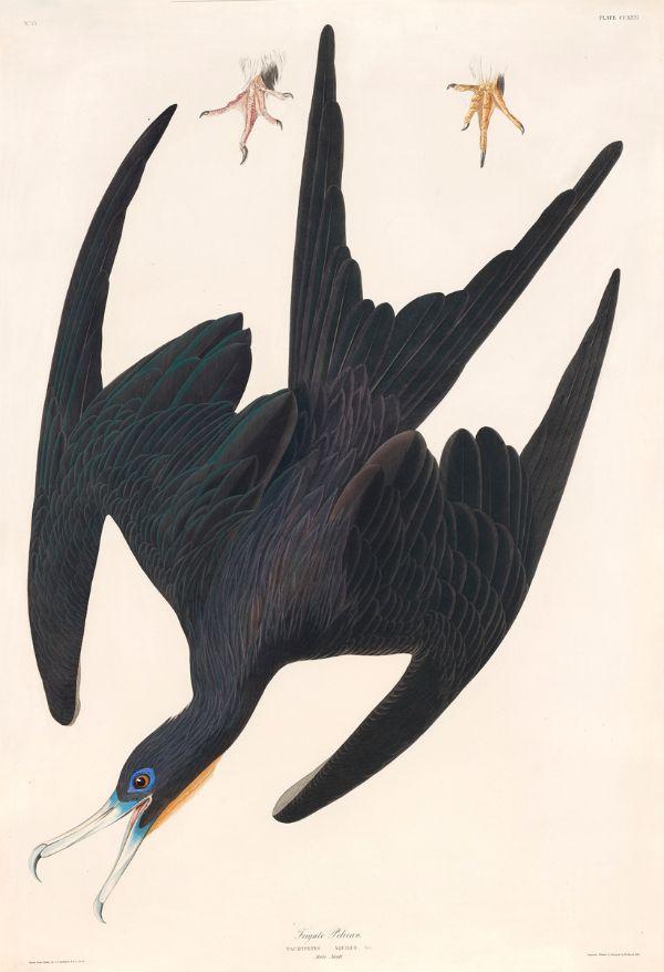 John James Audubon, Frigate Pelican