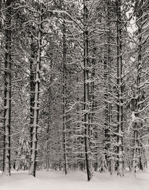 Ansel Adams, Pine Forest in Snow, Yosemite National Park, about 1932